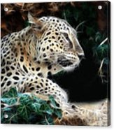 Leopard Watching It's Prey Acrylic Print
