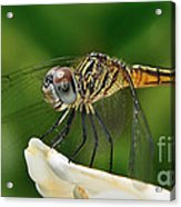 Austrogomphus Dragonfly Acrylic Print