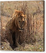 Lions Of The Ngorongoro Crater Acrylic Print