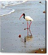 Lone Ibis Acrylic Print