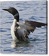 Loon Wings Out 3 Acrylic Print