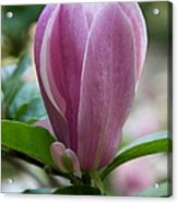 Magnolia Bud Acrylic Print