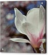 Magnolia Flowers In Spring Time Acrylic Print