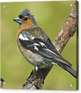 Male Chaffinch Acrylic Print