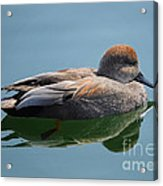 Male Gadwall Duck  Acrylic Print