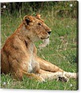 Masai Mara Lioness Acrylic Print