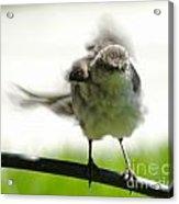 Mockingbird Dance Acrylic Print
