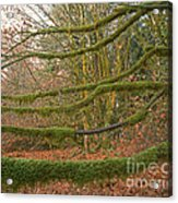Moss-covered Big Leaf Maple Branches Acrylic Print
