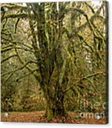 Moss-covered Big Leaf Maple Tree Acrylic Print