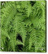 Mountain Ferns Of North Carolina Acrylic Print