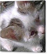 New Kitten's Debut Acrylic Print