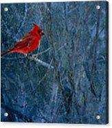Northern Cardinal Acrylic Print by Thomas Young