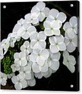 Oak Leaf Hydrangea Acrylic Print