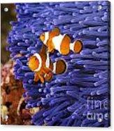 Ocellaris Clownfish Acrylic Print