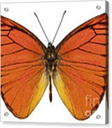 Orange Butterfly Species Appias Nero Neronis  Acrylic Print