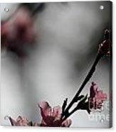 Peach Blossom II Acrylic Print