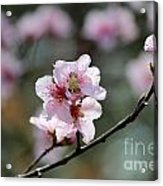 Peach Blossoms I Acrylic Print