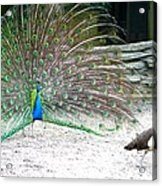 Peacock Making An Impression Acrylic Print