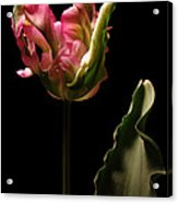 Pink and Green Parrot Tulip Acrylic Print