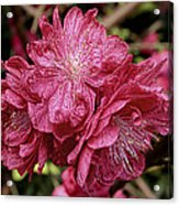 Pink Cluster Rhodie Img_2879 Acrylic Print