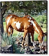 Pinto In The Pines Acrylic Print