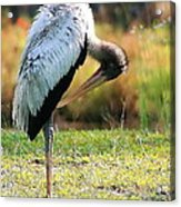Preening Wood Stork Acrylic Print