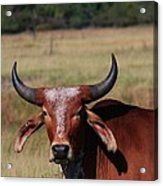 Red Brahma Bull In A Pasture Acrylic Print by Robert D  Brozek