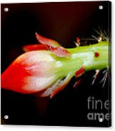 Red Orchid Cacti Bloom Acrylic Print