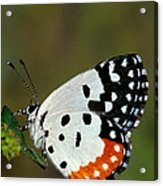 Red Pierrot Butterfly Acrylic Print