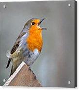 Robin Song Acrylic Print