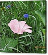 Softly Single New Pink Bloom Acrylic Print