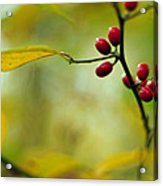 Spicebush With Red Berries Acrylic Print