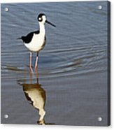 Stilt Looking At Me Acrylic Print