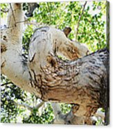 Sycamore Tree's Twisted Trunk Acrylic Print