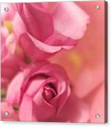 Tenderness Pink Roses 1 Acrylic Print