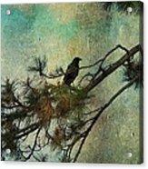 The Old Pine Tree Acrylic Print