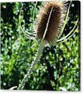Thistle Plant Acrylic Print