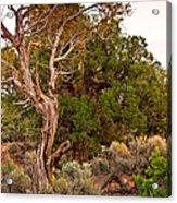 Weathered Tree Sunrise Canyon Dechelly Acrylic Print