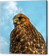 What Are You Looking At Red Shoulder Hawk Acrylic Print