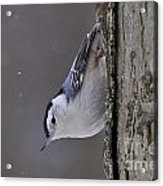 White-breasted Nuthatch Pictures 27 Acrylic Print