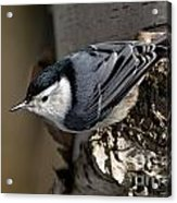 White-breasted Nuthatch Pictures 35 Acrylic Print