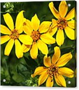 Yellow Texas Wildflowers Acrylic Print