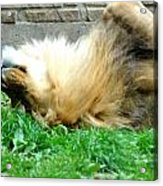 001 Lazy Boy At The Buffalo Zoo Acrylic Print