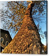 001 Oldest Tree Believed To Be Here In The Q.c. Series Acrylic Print