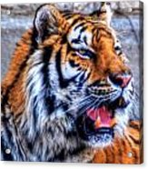 001 Siberian Tiger  Acrylic Print