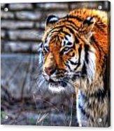0010 Siberian Tiger Acrylic Print