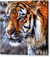 0013 Siberian Tiger Acrylic Print