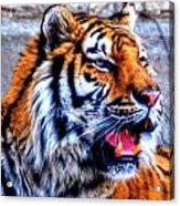 002 Siberian Tiger Acrylic Print