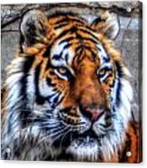 004 Siberian Tiger Acrylic Print