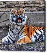 007 Siberian Tiger Acrylic Print